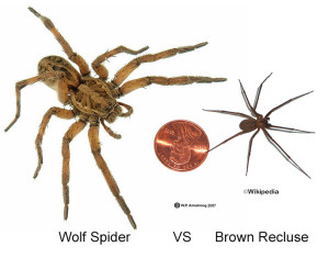 Brown Recluse spider ID